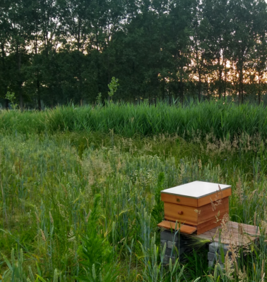 Honingbijen in het voedselbos