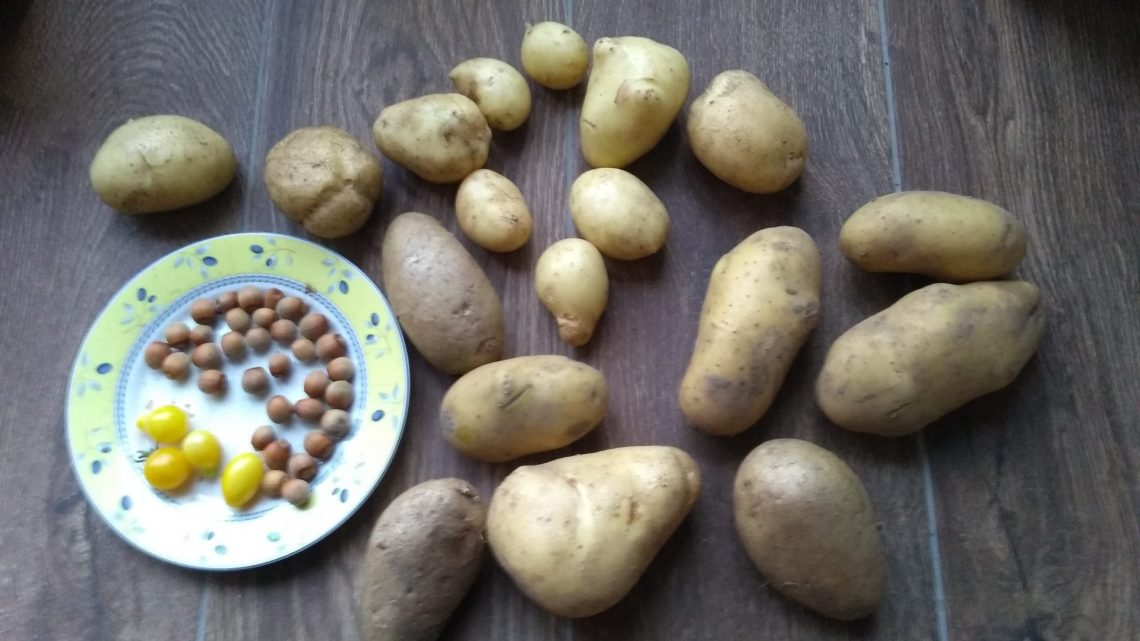 Aardappel oogst
