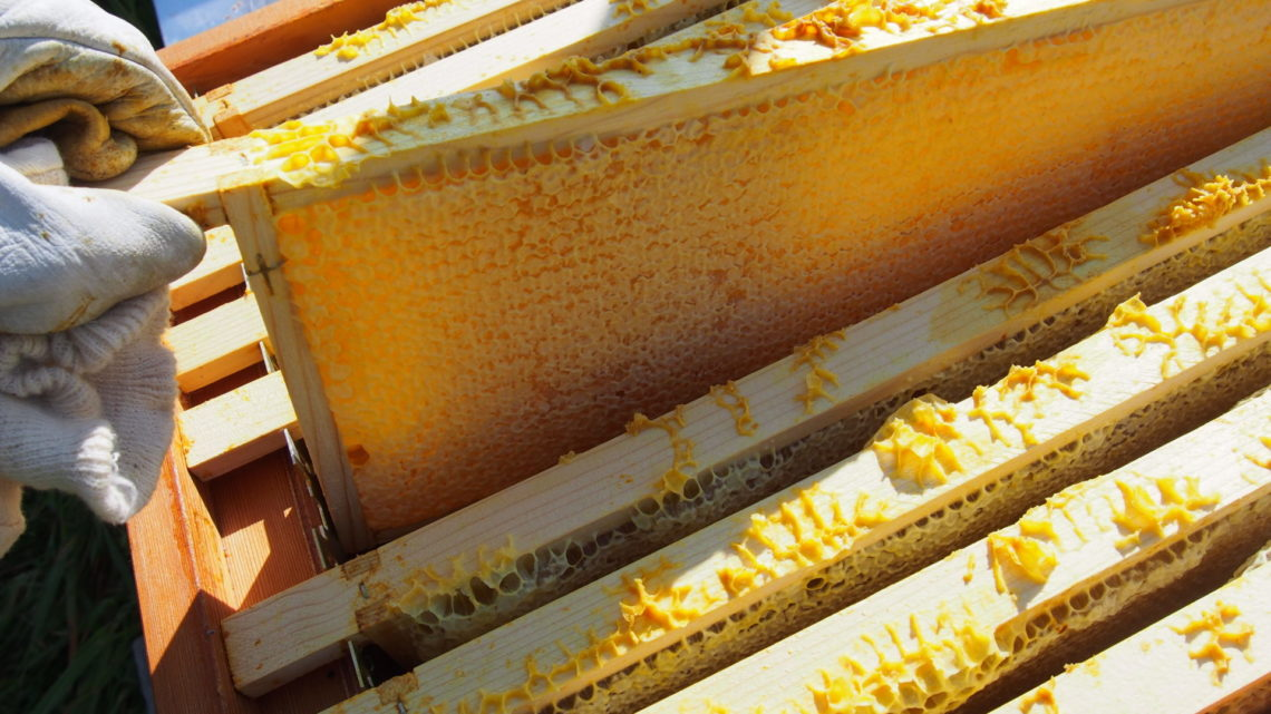 Eerste honing oogst