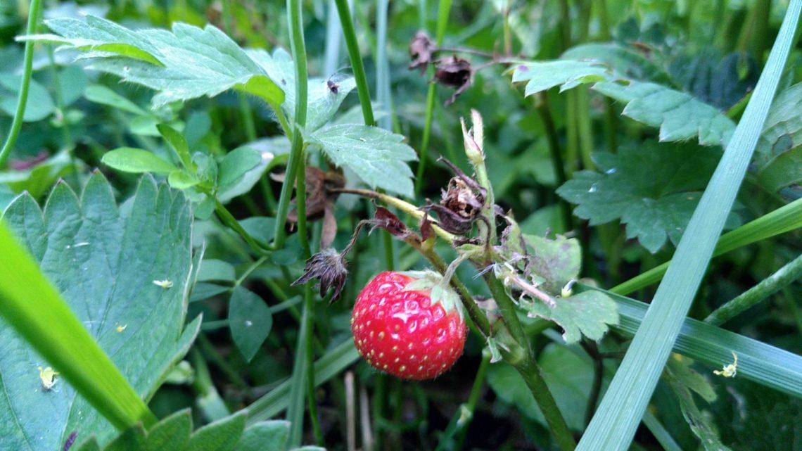 Aardbeien dief?