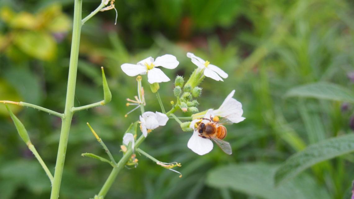 Tweede honingoogst