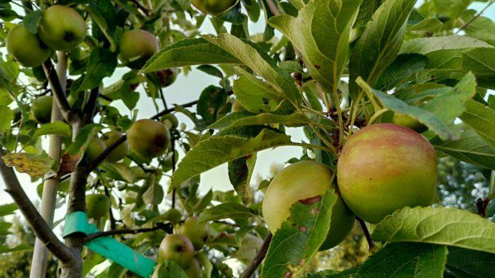 De eerste appel oogst!